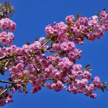 sakura, blooms, bloom, Nikon COOLPIX L330