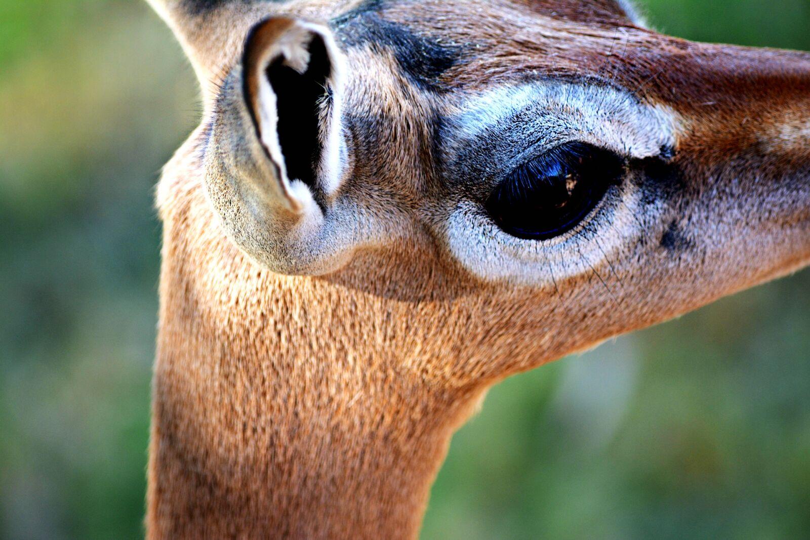 "Nikon D5200 sample photo. ""Antelope, bigeyes, deer, gerenuk"" photography"
