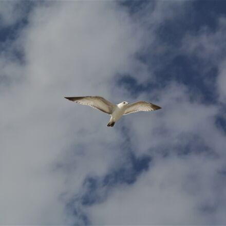 bird, sky, soaring, Nikon 1 J1