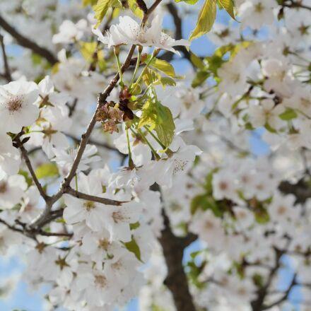 cherry blossom, sky, spring, Samsung NX30