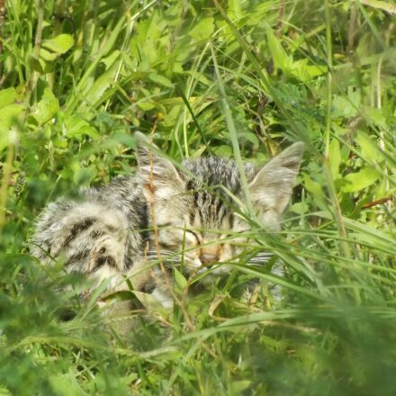 cat, wild, street, Fujifilm FinePix S4500