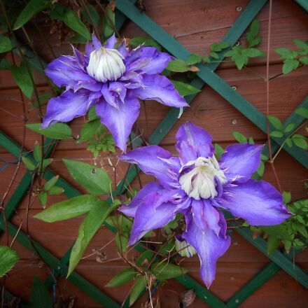clematis, violet, rank growths, Nikon COOLPIX S9600