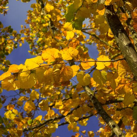 tree, yellow, brown, Canon EOS 60D