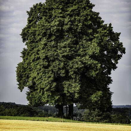 oak, nature, old oak, Canon EOS 5D MARK III