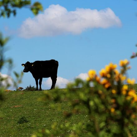 cow, country, silhouette, Canon EOS 1200D