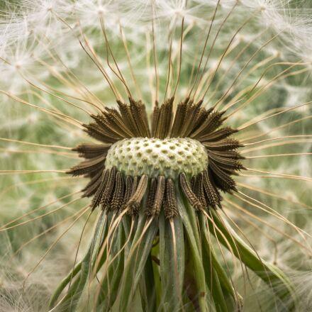 dandelion, mr hall, seeds, Sony NEX-5N
