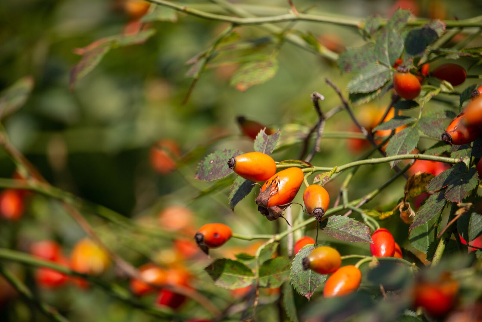 """Canon EOS 100D (EOS Rebel SL1 / EOS Kiss X7) sample photo. """"Rosehips, red, nature"""" photography"""