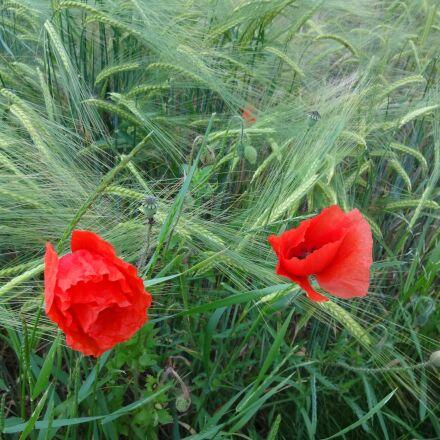 poppies, flower, grain, Sony DSC-WX150