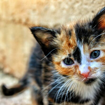 kitten, cat, animal, pet, Canon EOS 600D