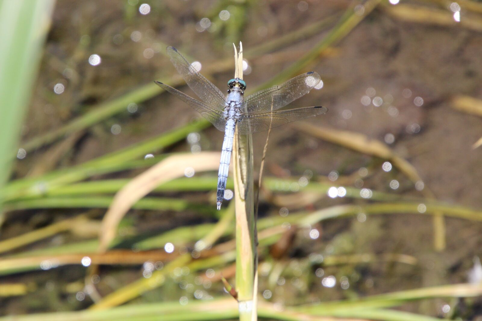 """Canon EOS 600D (Rebel EOS T3i / EOS Kiss X5) sample photo. """"Dragonfly, insect, stem"""" photography"""
