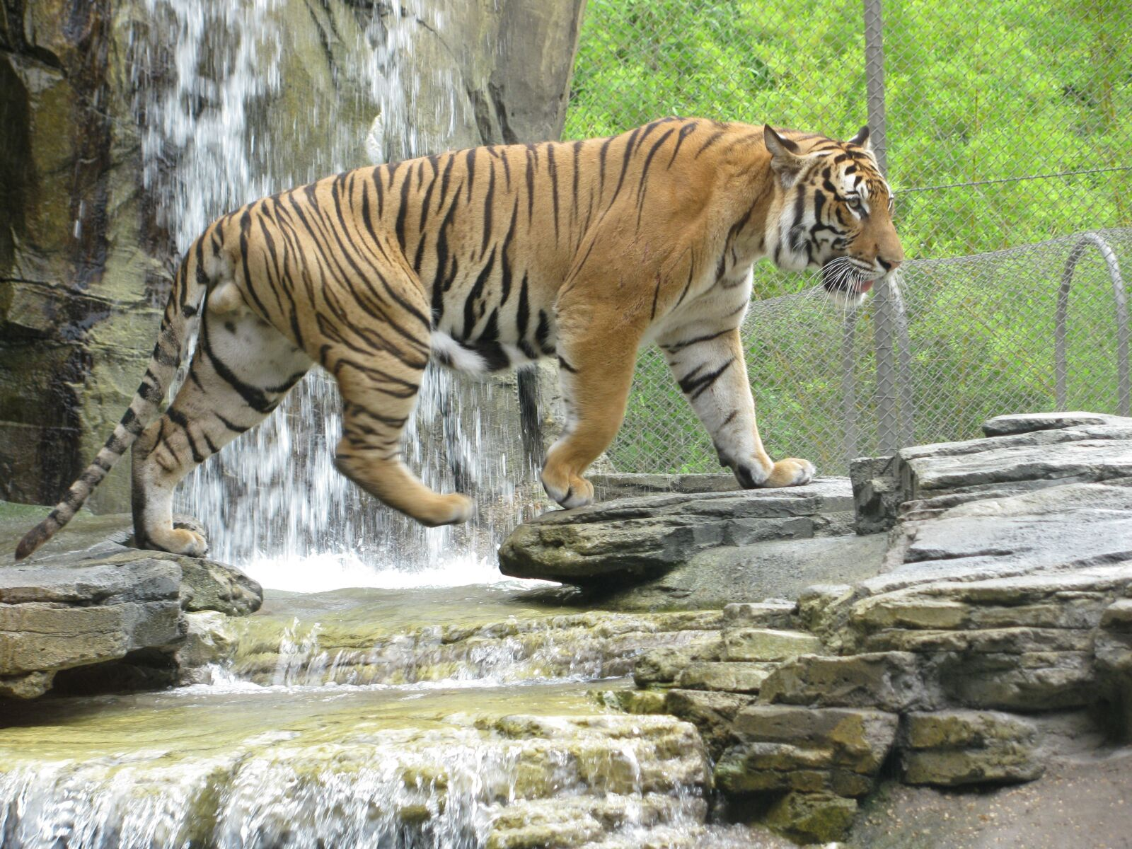 """Canon PowerShot SX110 IS sample photo. """"Tiger, stripes, waterfall"""" photography"""
