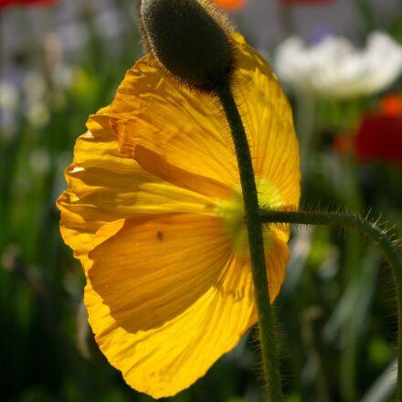 poppy, flower, light, Pentax K-X