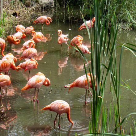 flamingo, wading bird, pond, Canon POWERSHOT SX520 HS