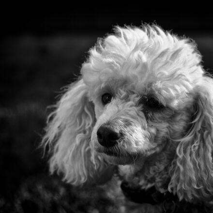 black and white, poodle, Pentax K-50