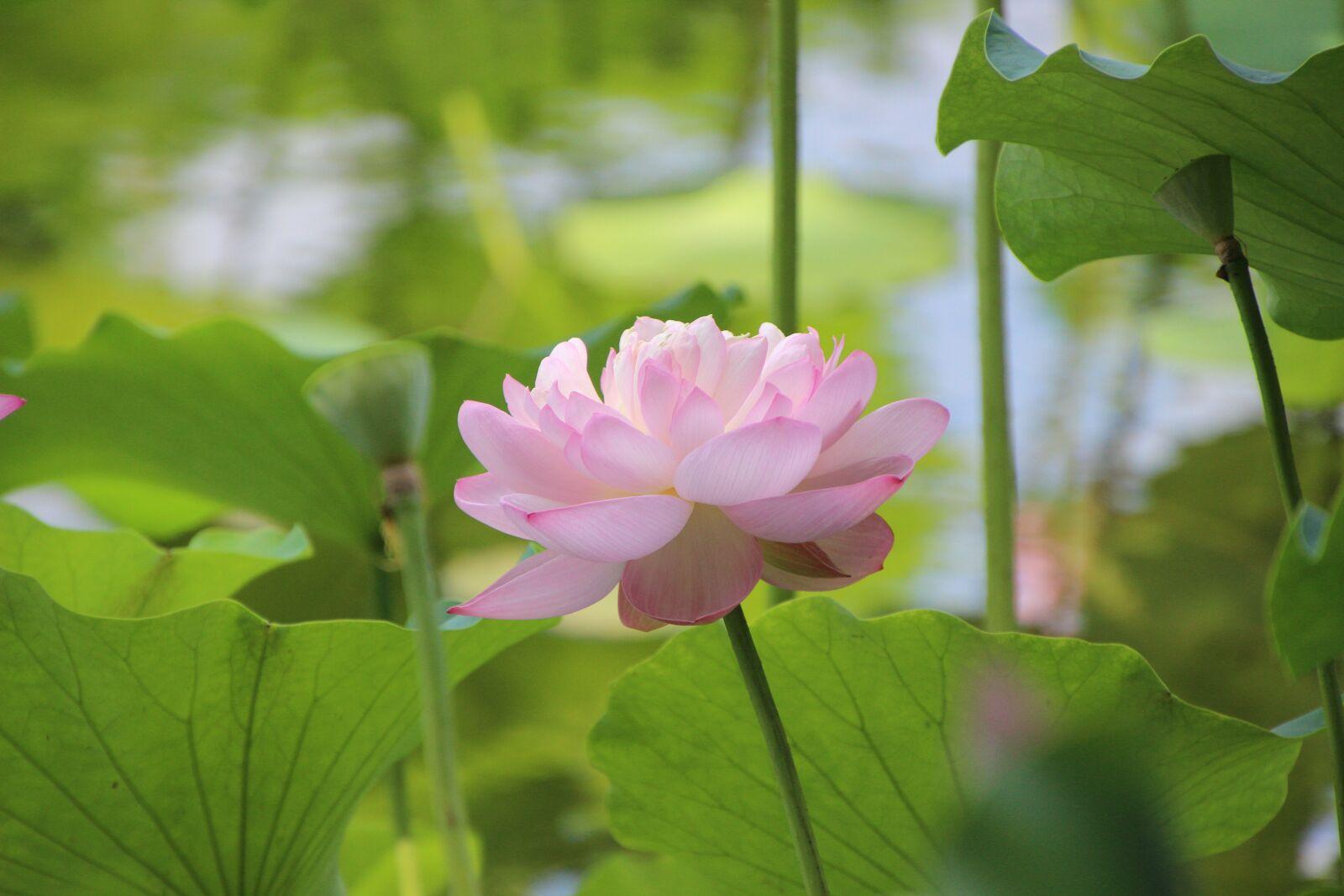 "Canon EOS 600D (Rebel EOS T3i / EOS Kiss X5) sample photo. ""Nature, flower, petals"" photography"