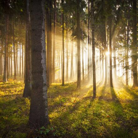 forest, morning, sun, pine, Canon EOS 5D MARK II