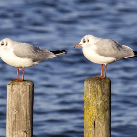 black headed gull, seagull, Olympus E-5