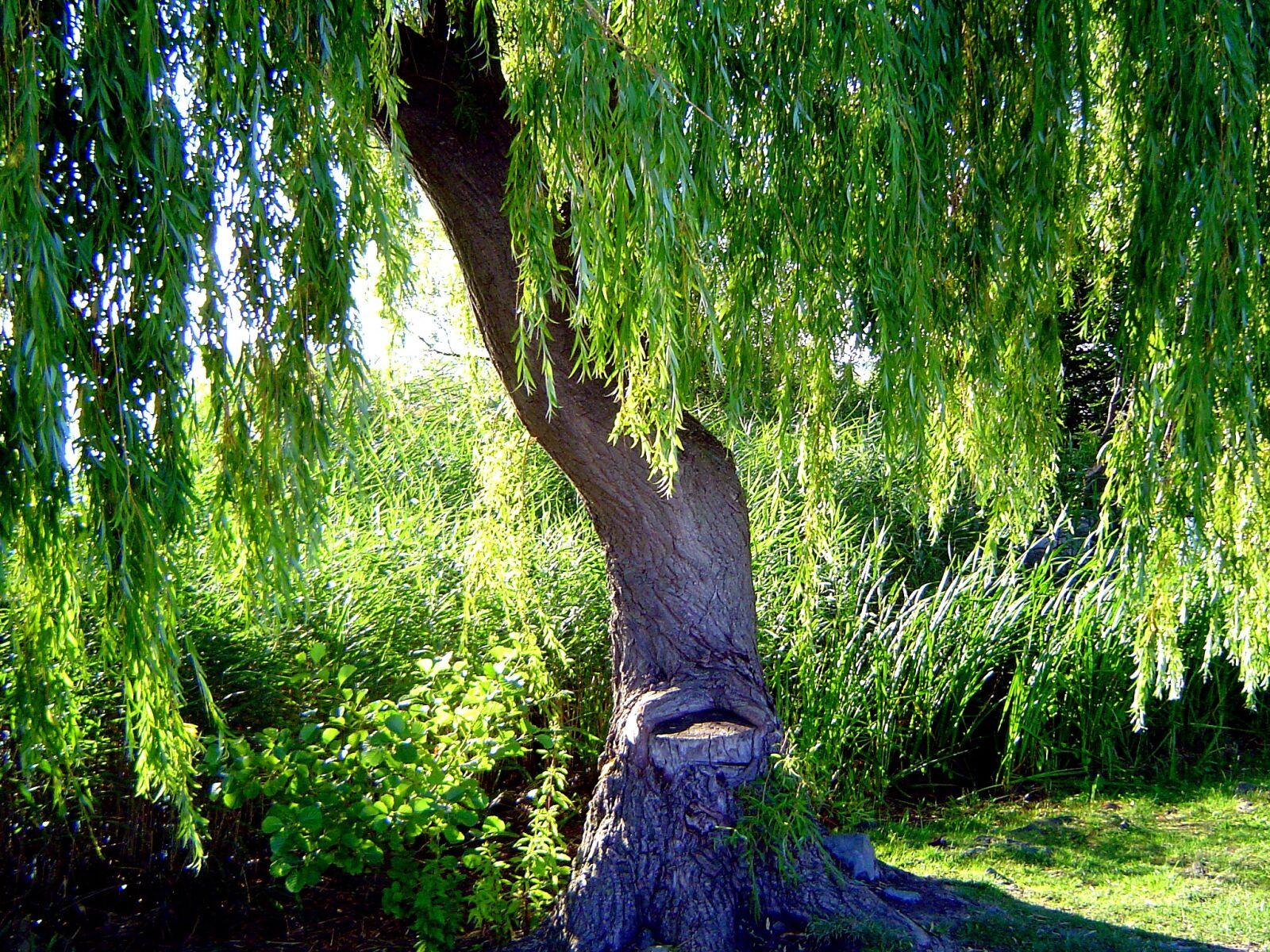 """Sony DSC-P72 sample photo. """"Tree, steinhuder sea, vacations"""" photography"""