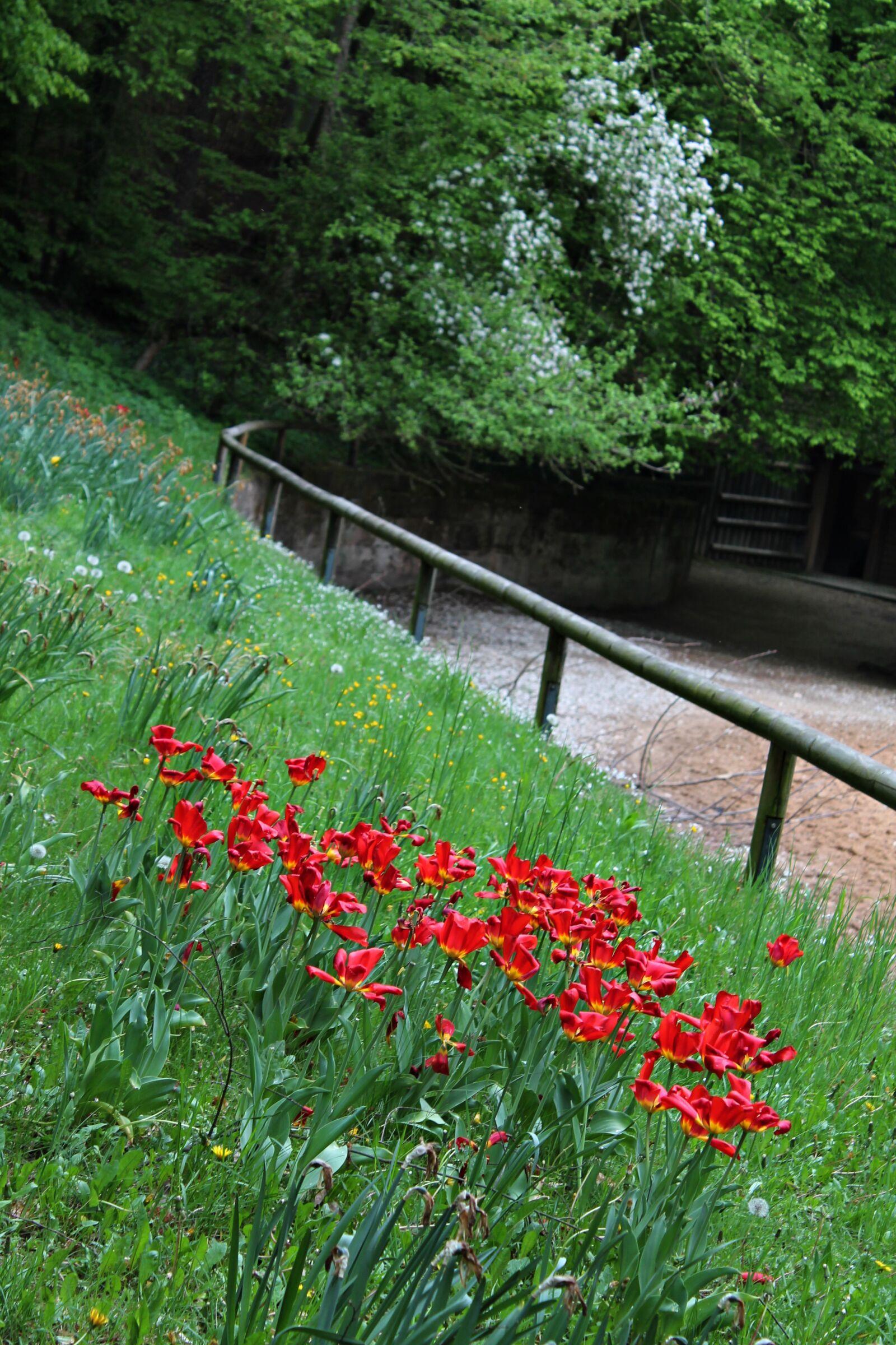 "Canon EOS 1100D (EOS Rebel T3 / EOS Kiss X50) sample photo. ""Red tulips, garden, grasses"" photography"