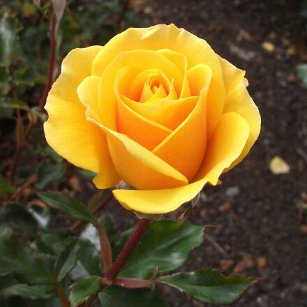 yellow rose, flower, plant, Fujifilm FinePix AV100