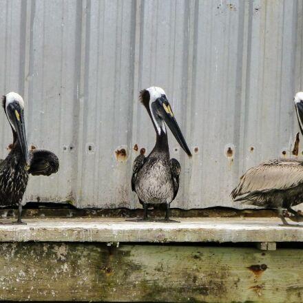 pelican, pelicans, sitting, Panasonic DMC-ZS20