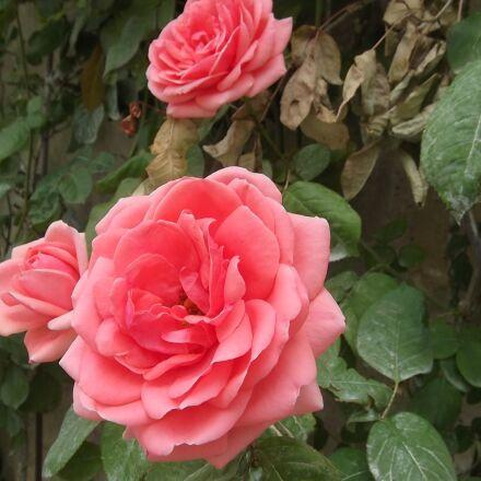 rose, flower, pink, Fujifilm FinePix AX250