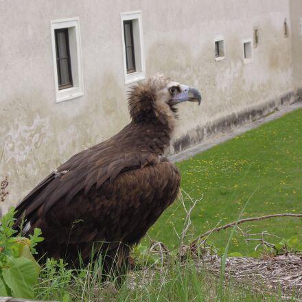 raptor, bird, plumage, Nikon COOLPIX P300