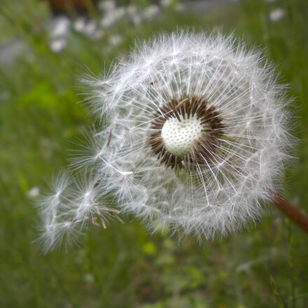 dandelion, seeds, common dandelion, Nikon COOLPIX S225
