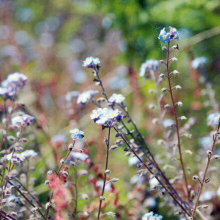 nature, flowers, blue, grass, Canon EOS 1100D