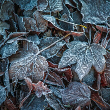 leaves, winter, frost, Sony ILCE-7SM2