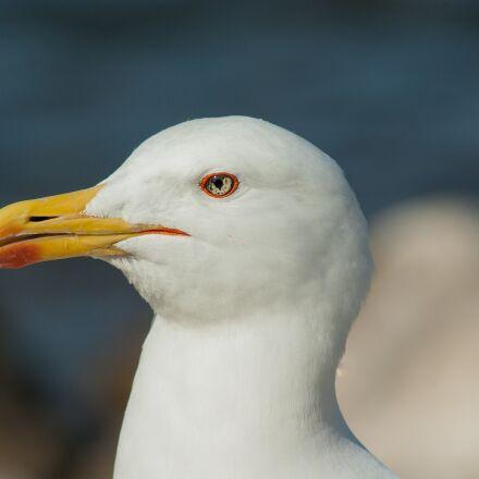 seagull, beak, sea bird, Pentax K10D