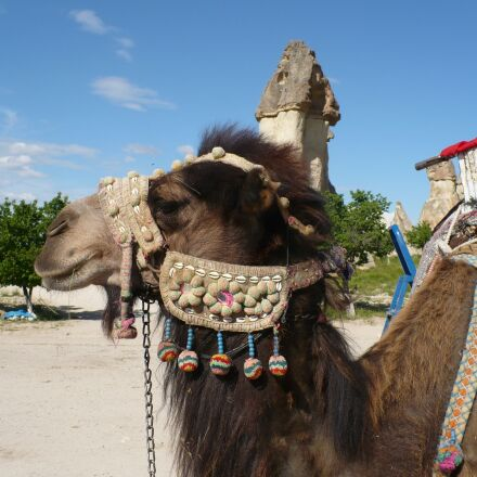camel, turkey, cappadocia, Panasonic DMC-LZ7