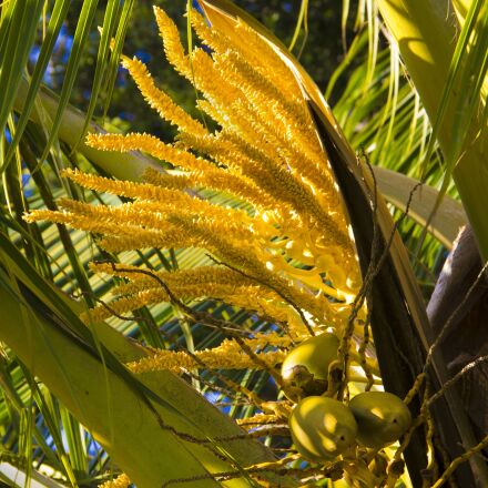 coconut, palm, blooms, Canon EOS REBEL T3I