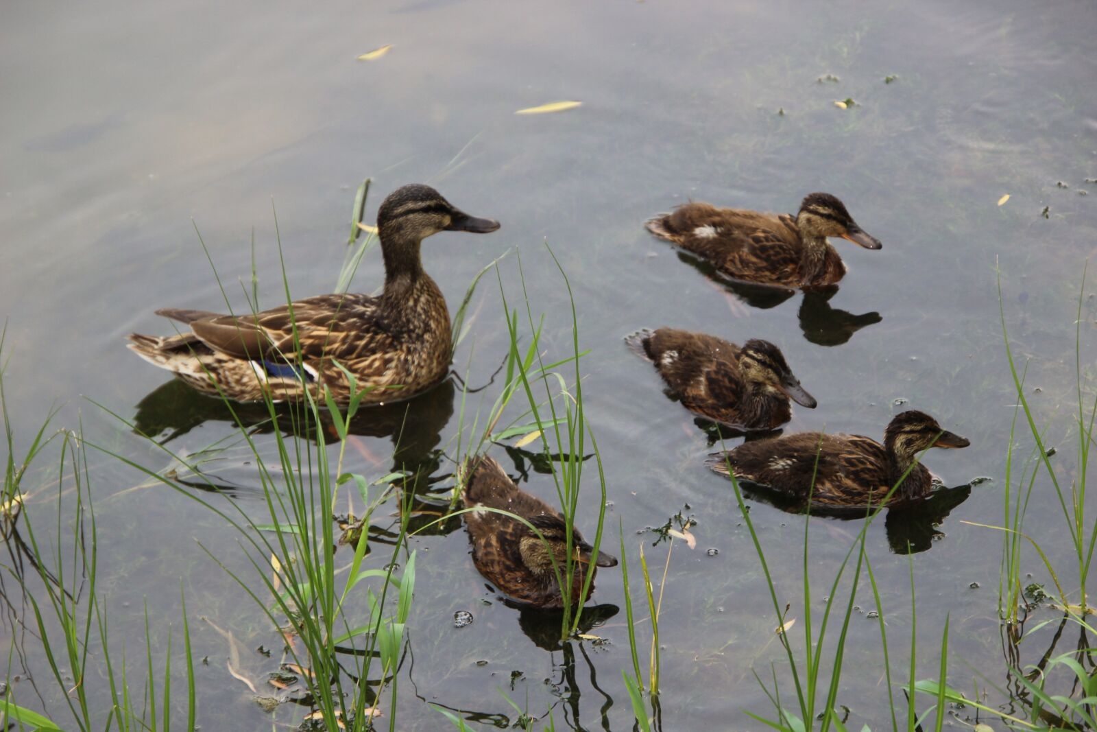 """Canon EOS 600D (Rebel EOS T3i / EOS Kiss X5) sample photo. """"Duck, ducklings, lake"""" photography"""