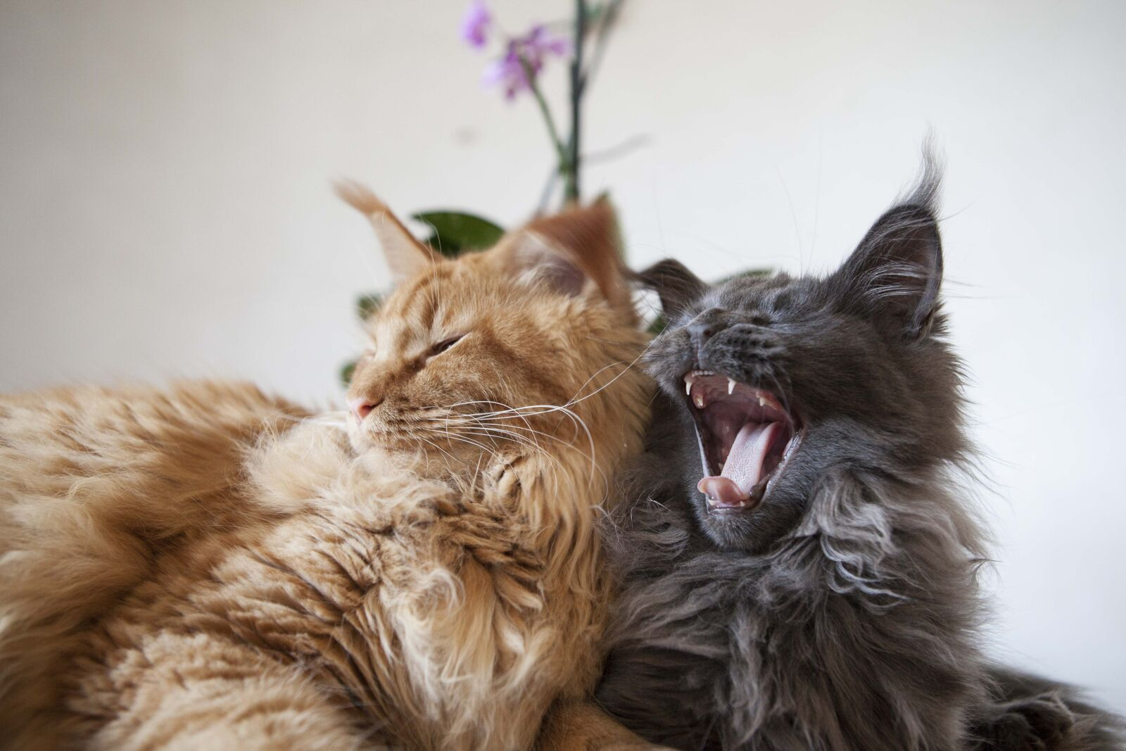 cats, maine, coon, yawn