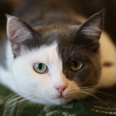 cat, pet, home, Canon EOS 7D MARK II