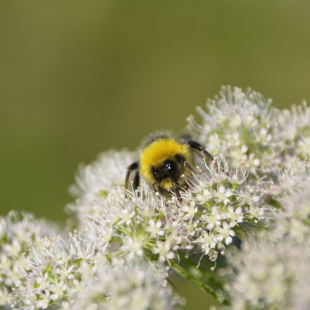 nature, summer, flower, bee, Nikon D5200