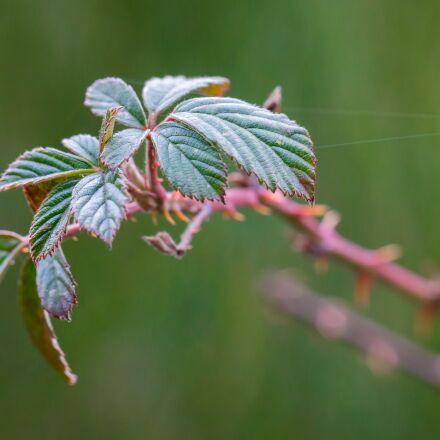 bramble, leaves, bush, Samsung NX300M