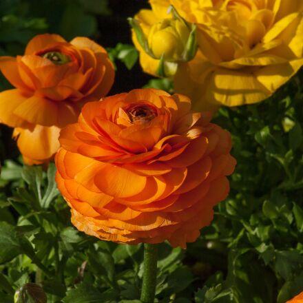 flowers, buttercups, spring, Pentax K10D