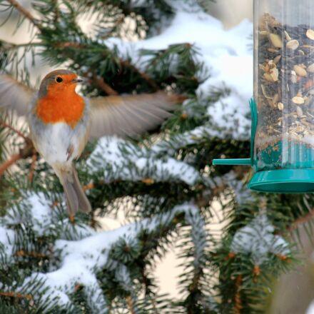 robin, winter, snow, Canon EOS 1100D