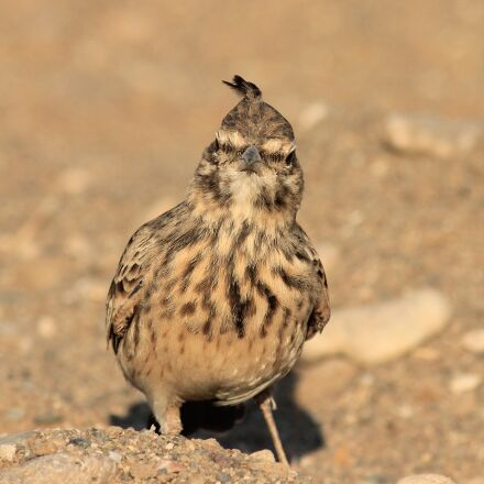 bird, crested, crested lark, Canon EOS 600D
