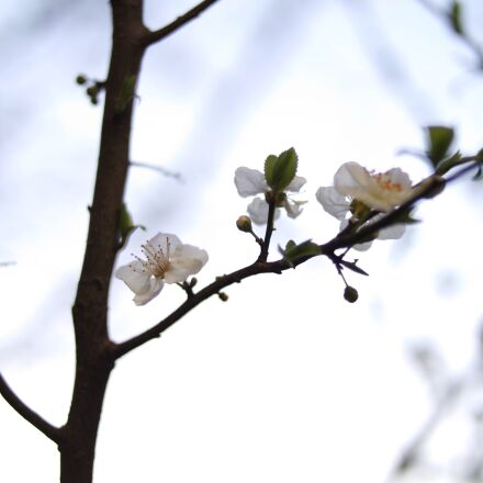 nature, flowers, spring, cherry, Samsung NX3000
