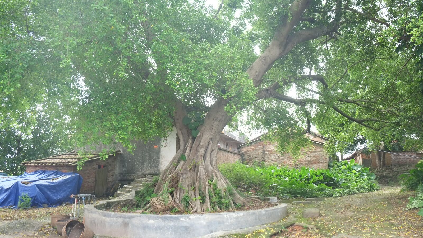 "Fujifilm X-E1 sample photo. ""Big trees, trees, banyan"" photography"