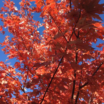 red, leaves, maple, Apple iPhone 6s