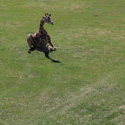 giraffe, animal, wild, Canon EOS REBEL T6I