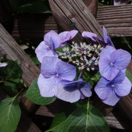 ornamental plant, blossom, bloom, Sony DSC-WX100