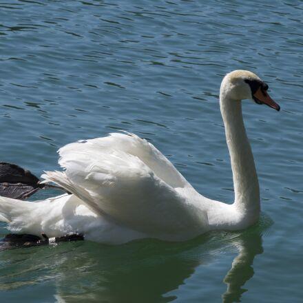 swan, animal, water, Pentax K-30