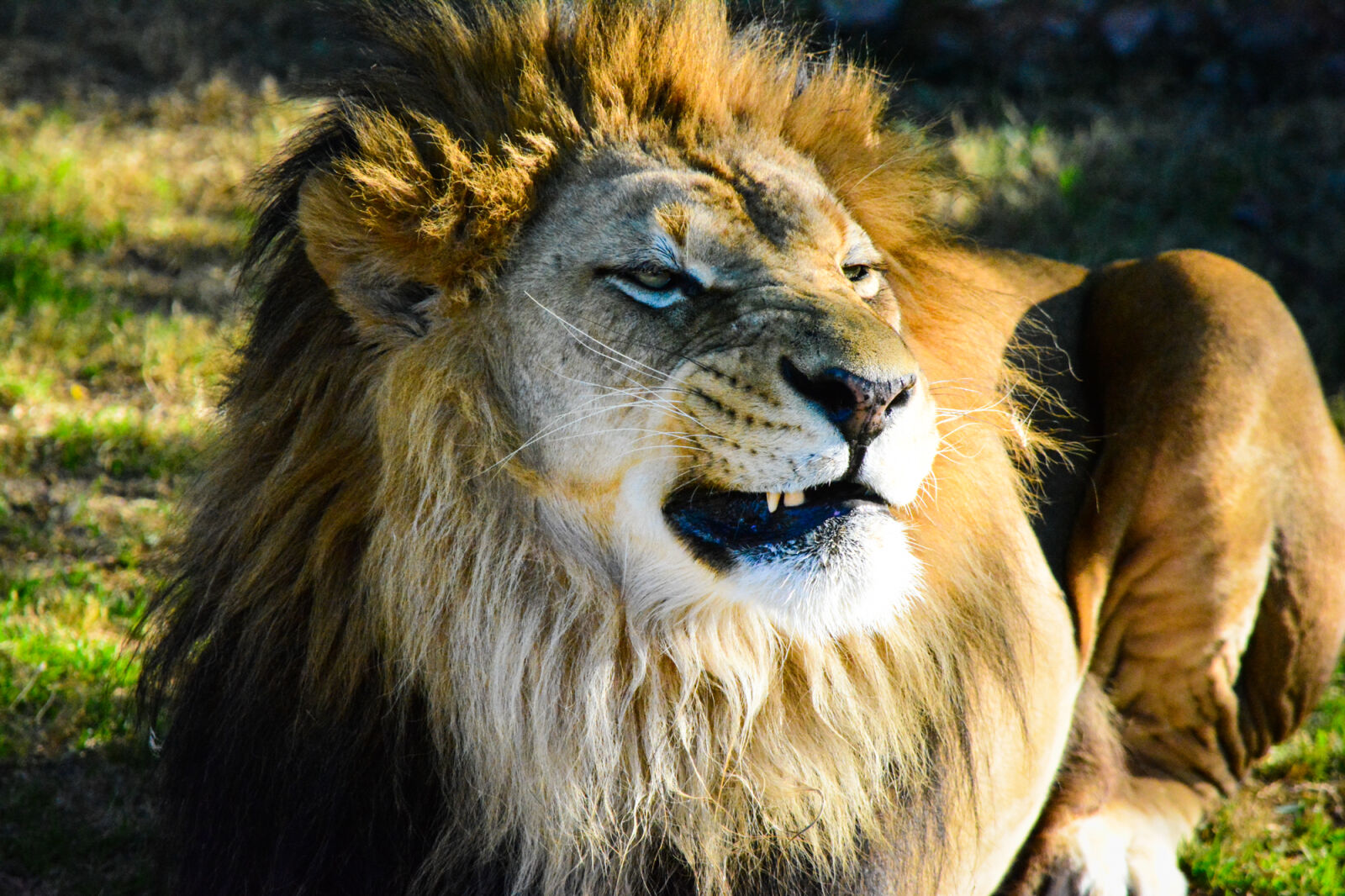 """Nikon D5200 sample photo. """"Bigcat, bigcats, growl, growls"""" photography"""