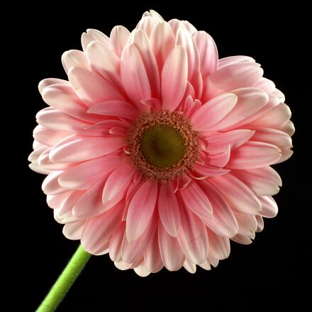 flower, pink, pink flower, Sony SLT-A77V