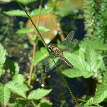 dragonfly, pond, insect, Fujifilm FinePix S3000